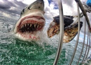 great-white-shark-gopro-01_84477_600x450